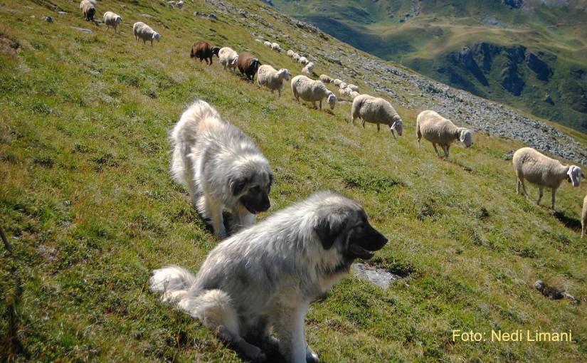 Krehtorja e qenve